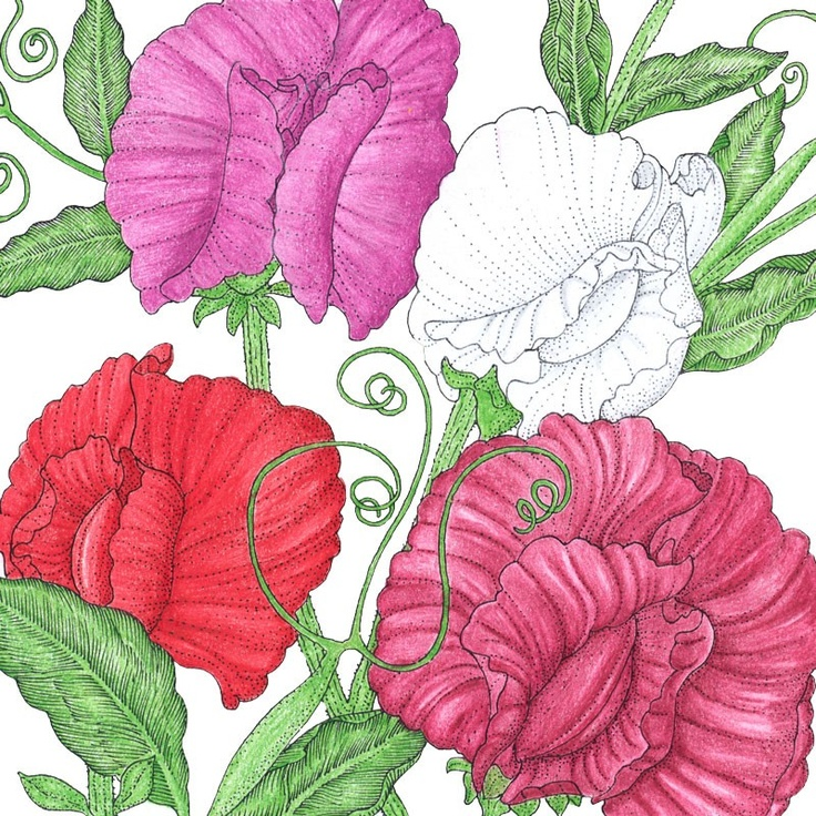 sweet pea flower drawing