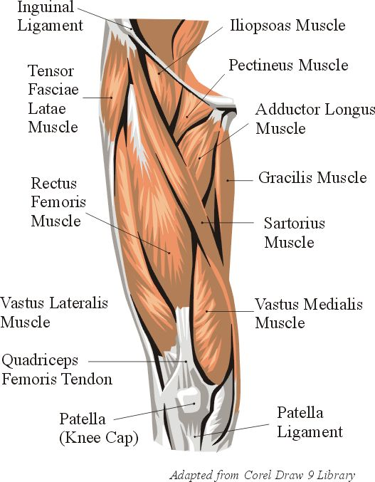 Anatomy of thigh muscles and tendons