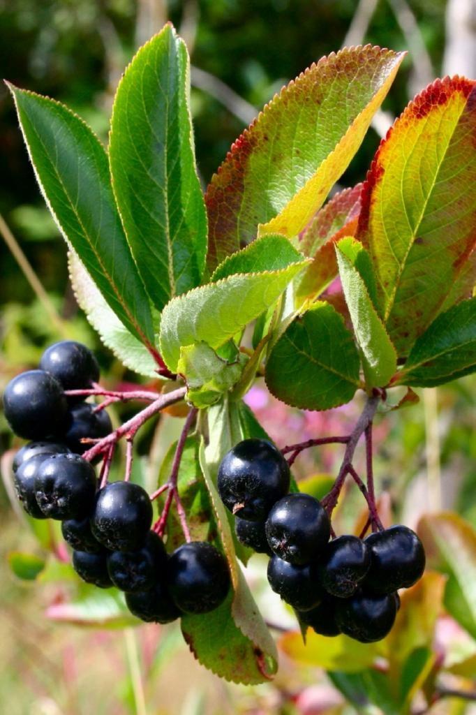viking chokeberry aronia melanocarpa garden plan pinterest. Black Bedroom Furniture Sets. Home Design Ideas