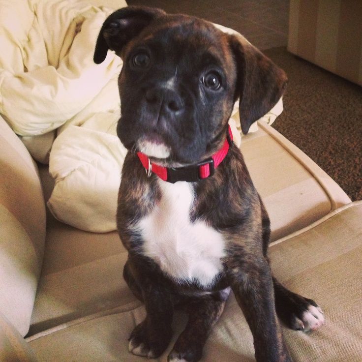 Kimbo my brindle boxer boxers pinterest for Brindle boxer