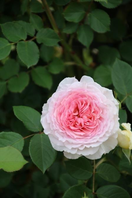 39 james galway 39 english rose envy pinterest. Black Bedroom Furniture Sets. Home Design Ideas