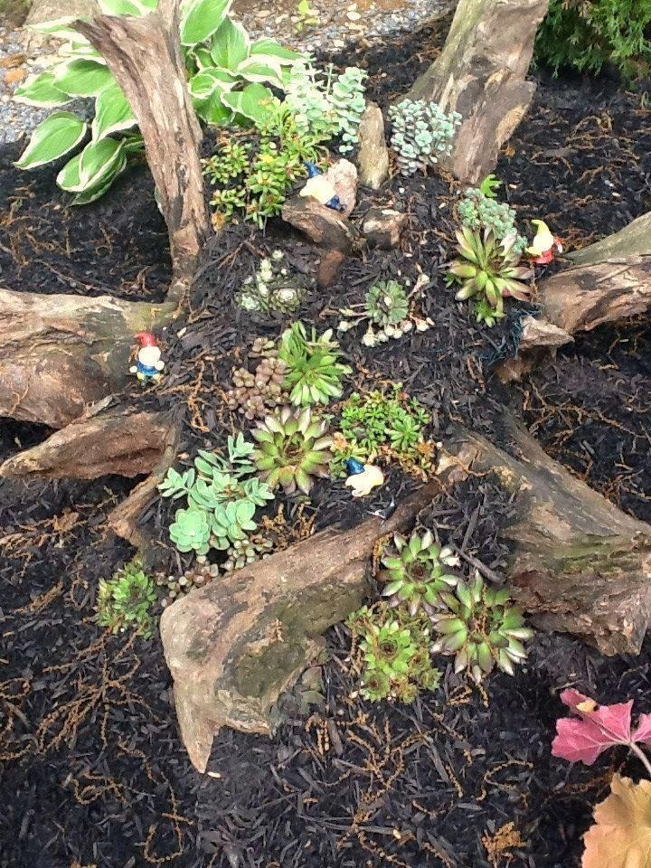 Root Landscaping : Hens and chicks succulents tree root landscaping