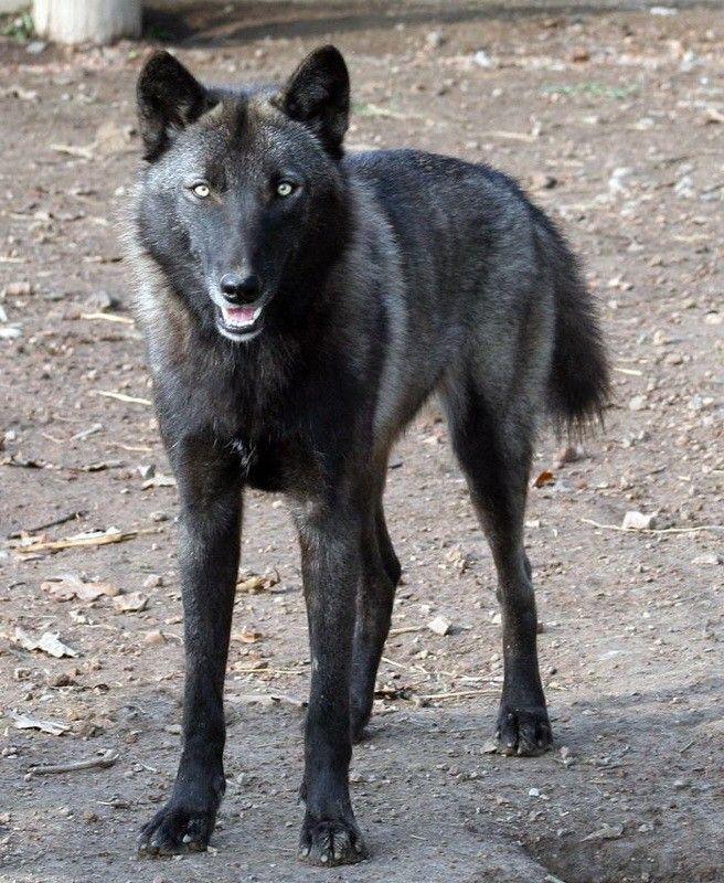 Hybrid wolf   Wolf Hybrid   Pinterest