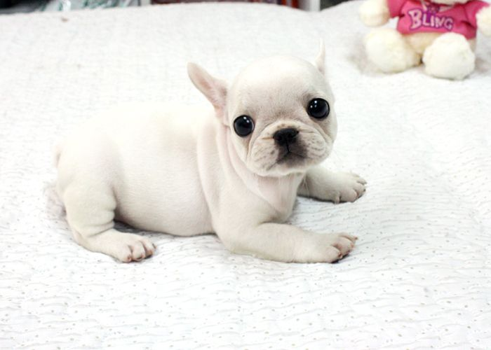 the gallery for gt baby white french bulldog