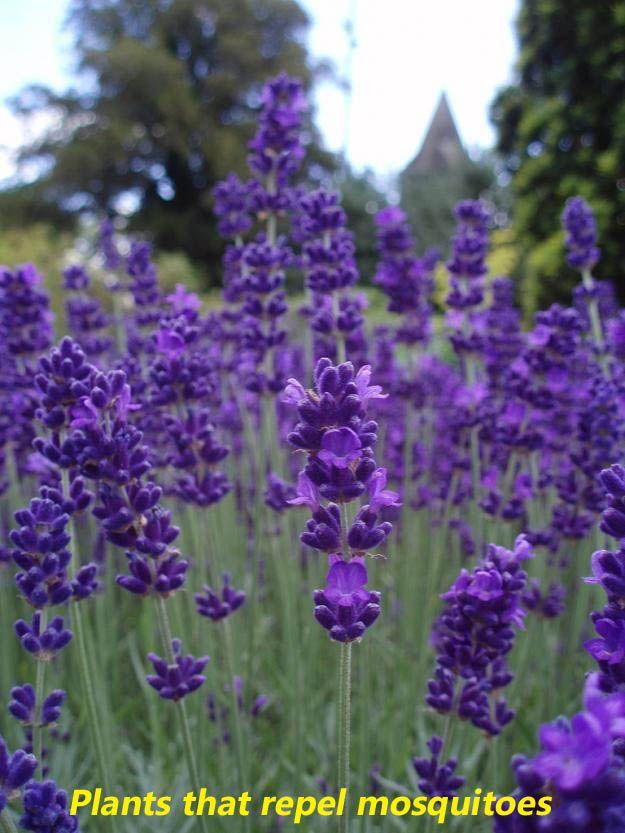Plants That Repel Mosquitoes Backyard Ideas Pinterest