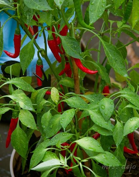 Cayenne pepper plant gardening pinterest - Planting pepper garden ...