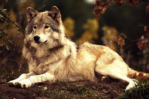 Found on acidic-dream tumblr comLight Brown Female Wolf