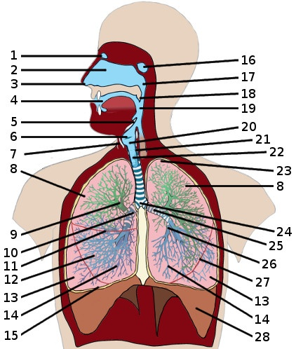 physicoex 8 0 respiratory lab Physioex answer key for exercise 4 physioex 80 with 1 kruse biology 233 human anatomy and physiology iii laboratory objectives respiratory system.