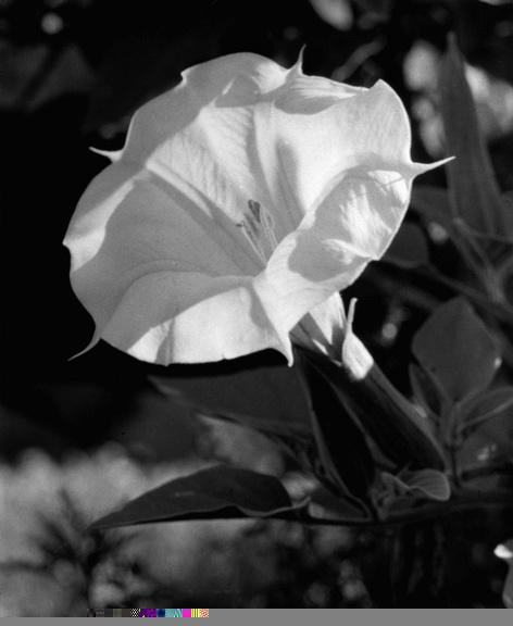 Morning Glory by Imogen Cunningham