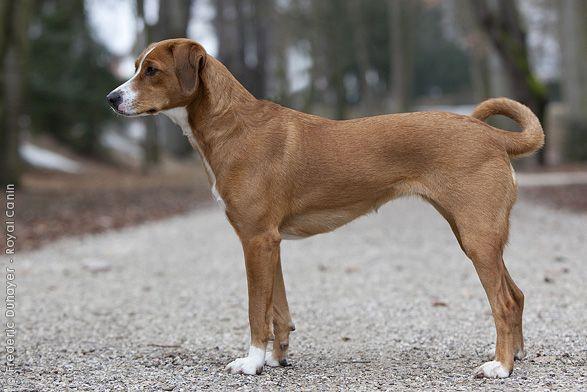Austrian Pinscher. | Dogs: FCI 2 Pinscher and Schnauzer ...