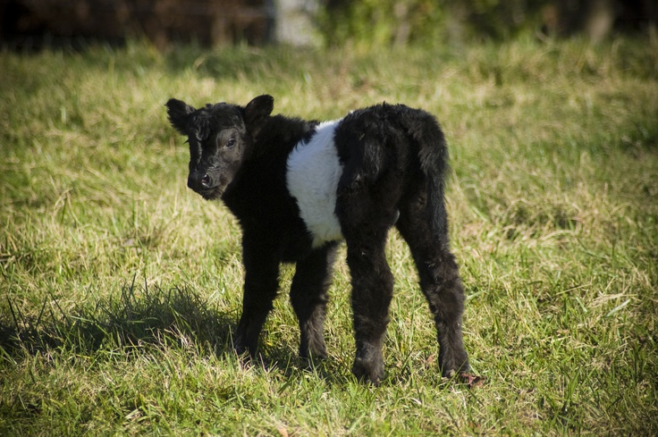 Pin by Emily Kruse on Belted Galloway Cattle | Pinterest