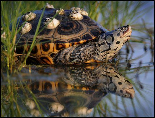... terrapin Herpetology - Turtles, Tortoises & Terrapins