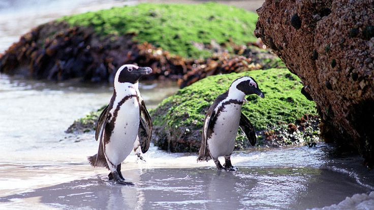 You can find these African penguins on Boulders Beach, a protected nesting area near Cape Point, South Africa.