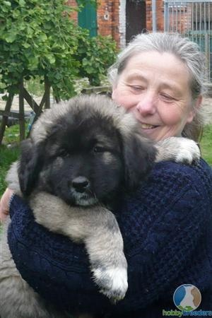 Caucasian Mountain Dog | Dogs