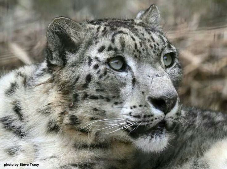 Snow leopard big cats pinterest