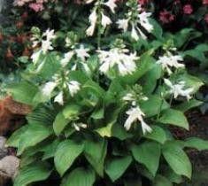 plants for shade Found on newlifenursery1.net   235 x 210 · 13 kB · jpeg