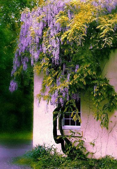 "floralls:  ""Wisteria"" by Jessica Jenney"