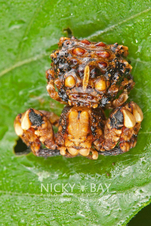 Bird dung crab spider - photo#8