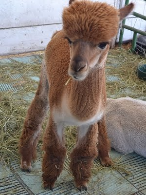 Baby Llama - Cute muffin top haircut | Photography: My Favorite Shots ...