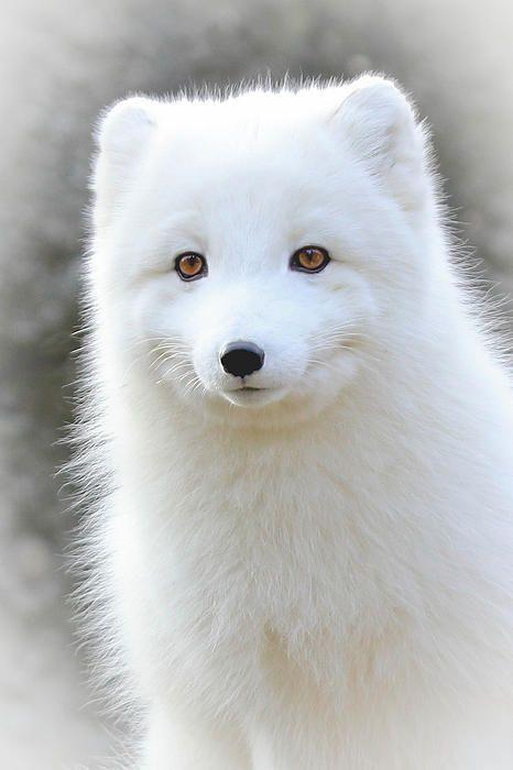 arctic fox cute white - photo #12