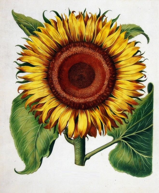 Sunflower Drawing | ~Vintage Seed Packets & Botanical ...