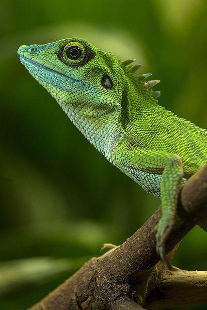 Green Crested Lizard | Animals | Pinterest