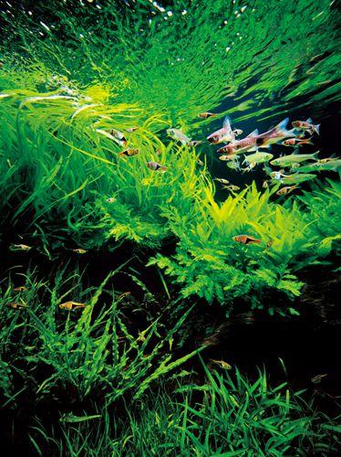 Amano Takashi Aquascape Aquarium ~ Aquascapes Pinterest