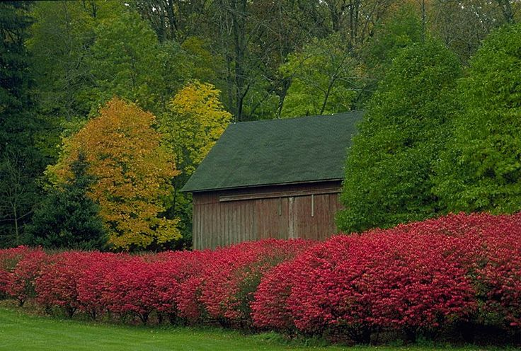 Burning bush for privacy hedge around garden planning pinterest - Shrubbery for privacy ...
