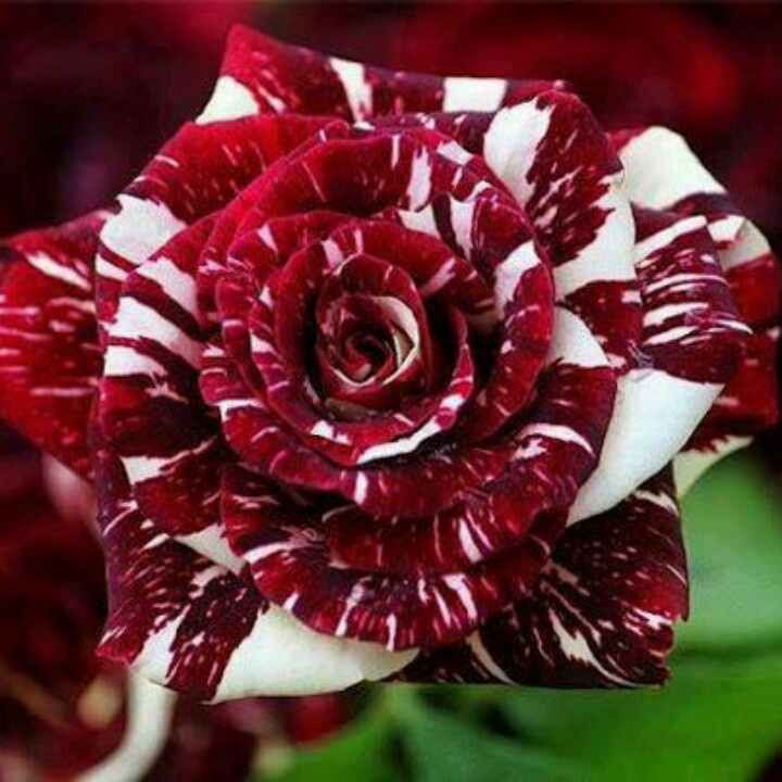Hybrid tiger stripe rose