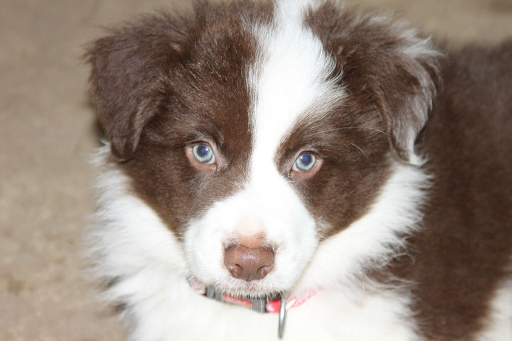 Baby Border Collie | Border collies - 83.9KB