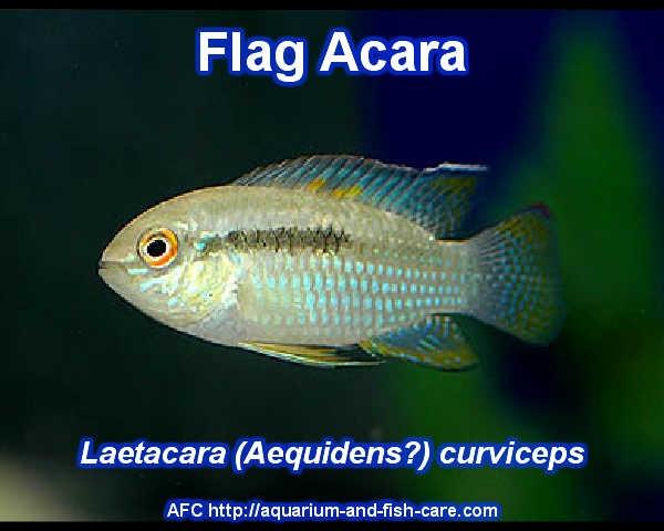 Flag Acara - Laetacara curviceps Freshwater Aquarium Fish - Aquari ...