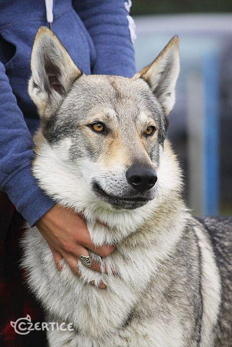 High Breed Wolf Dog