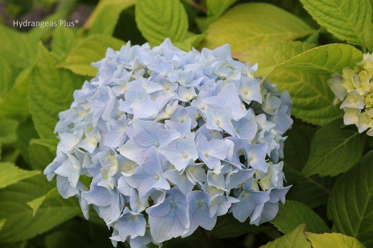 Hydrangea care gardening ideas pinterest - Caring hydrangea garden ...