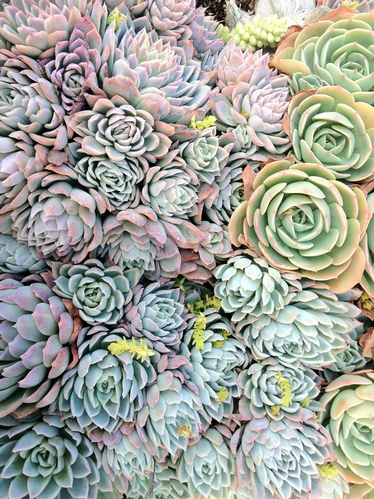 Lots of compact hen and chick succulent varieties