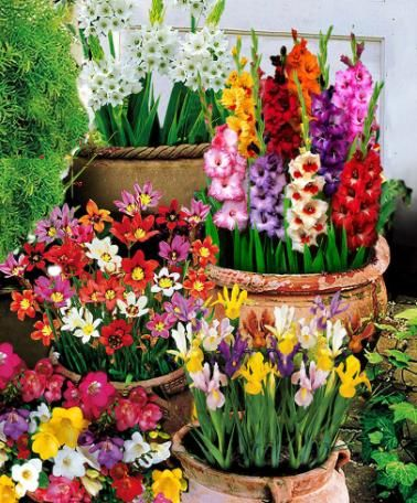 100 Summer Flowering Bulbs Flowering Bulbs Pinterest