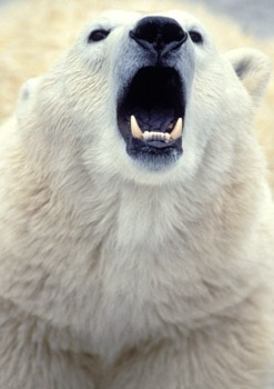 polar bear roaring | The Bears | Pinterest