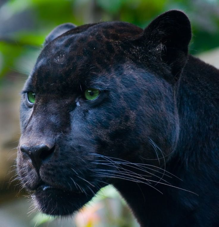 Black Jaguar My Favorite Big Cat ☆ Her Totems ☾ Pinterest