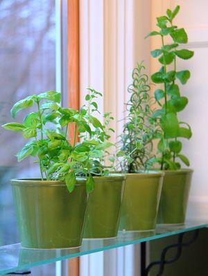fresh herb in kitchen window in green pots