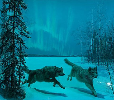 real northern lights wolf - photo #16