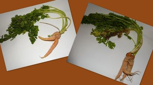 Mutant Dancing Lady and Loving Couple Carrots - Garden Fresh Strange ...