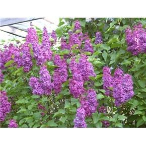 Old fashioned lilac bush plants for my yard pinterest