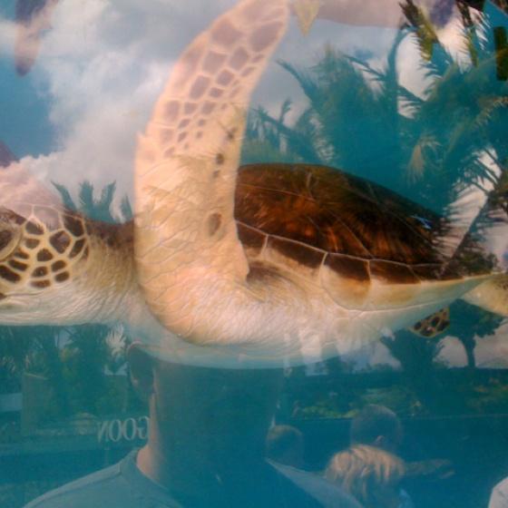 Baby sea turtle @ a aquarium in Maui Animals & Nature Pinterest