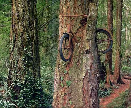 On Vashon Island (near Seattle), there is an unusual sight. A tree which has literally been eating a small bicycle. The story goes, that in 1914 a boy went to war and left his bike tied to a tree. The tree then grew, engulfing the bike and raising it up.