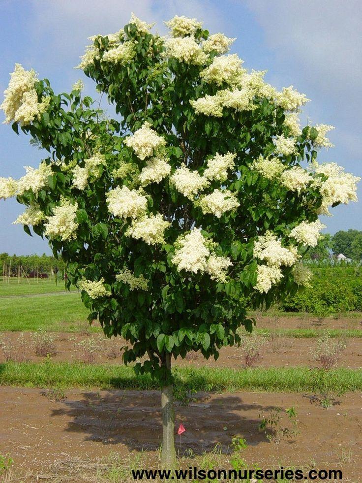 Ivory Silk Japanese Tree Lilac Trees Pinterest
