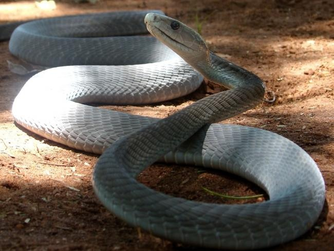 Black Mamba Snake | Snakes | Pinterest
