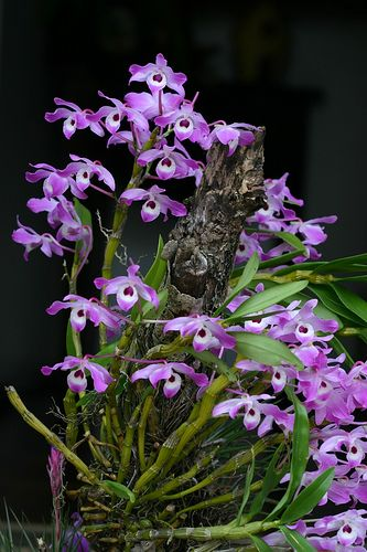 dendrobium nobile orchid plants pinterest. Black Bedroom Furniture Sets. Home Design Ideas