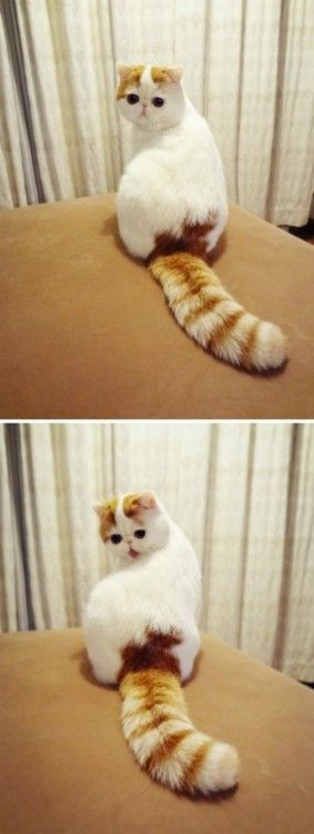 I can't stand how stinking cute this cat is! Look at it's tail!