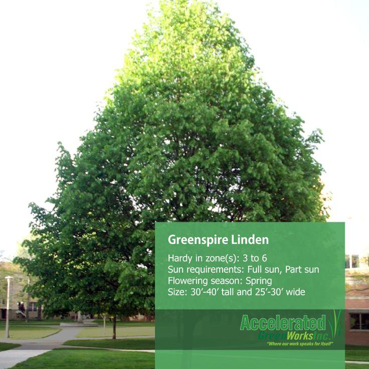 greenspire linden related keywords amp suggestions