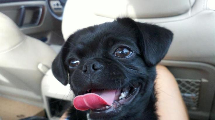 my cute puppy dog: a pug Chihuahua mix