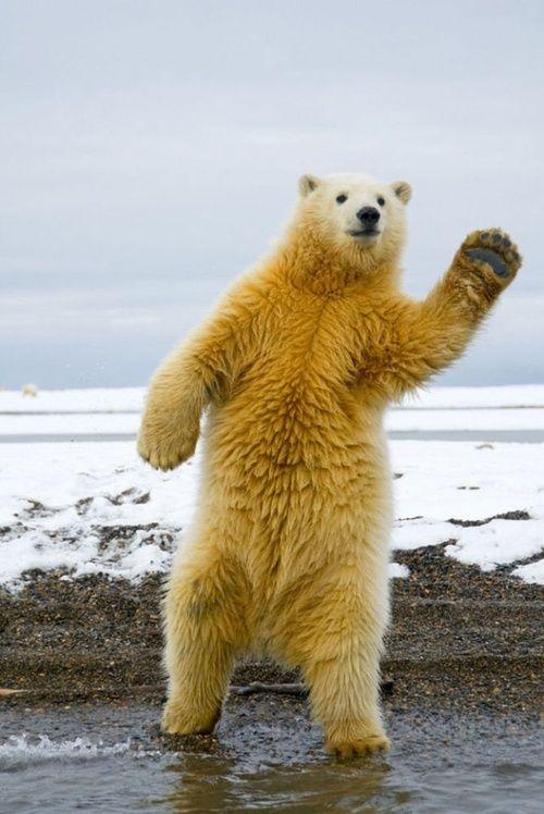 X Five Polar Bear polar bear high five  ...